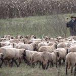 הרועה קרדיט שלום רופאייזן