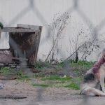 חמישים כלבים זקנים